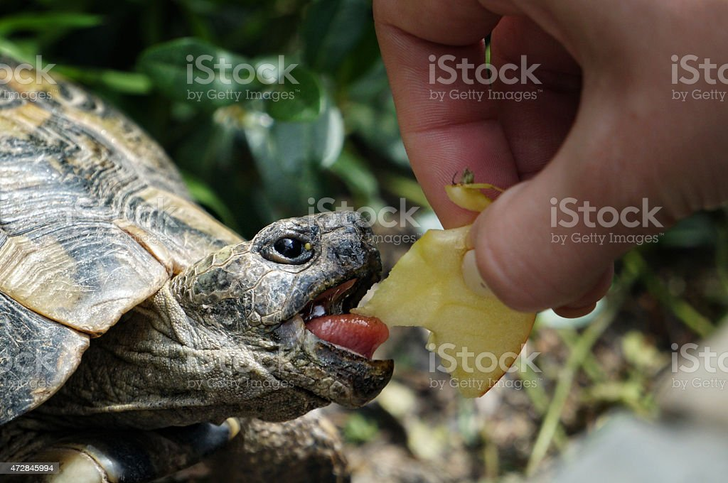 Hungry turtle royalty-free stock photo