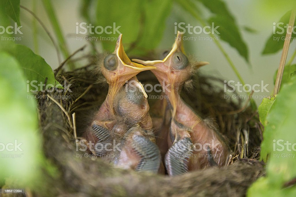 Hungry wild chicks stock photo