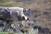 Hungry wolf going through sage brush in Yellowstone.