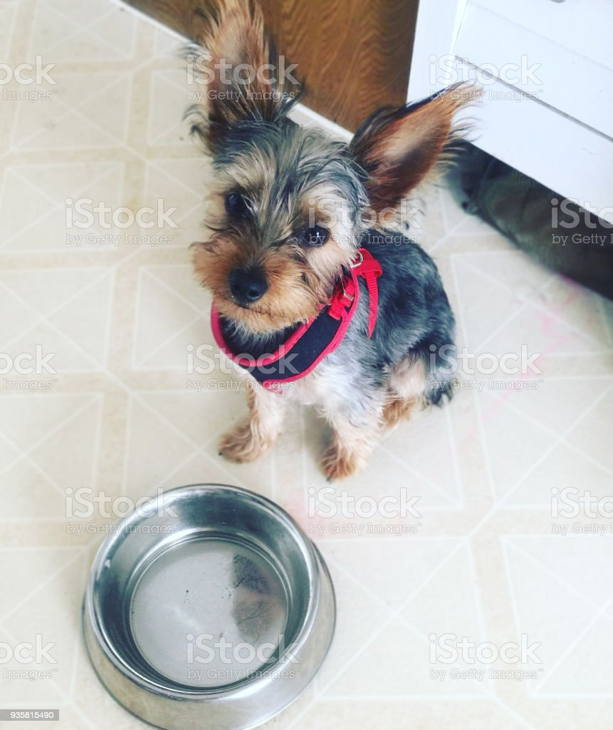 Hungry Yorkshire Terrier Dog With Empty Food Bowl Stock Photo More