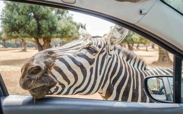 Hungry zebra waiting for food through a car window - foto stock