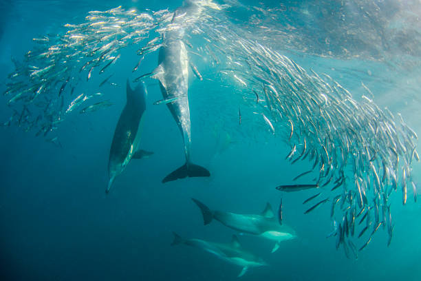 Hunt Sardine run in South Africa feeding frenzy stock pictures, royalty-free photos & images