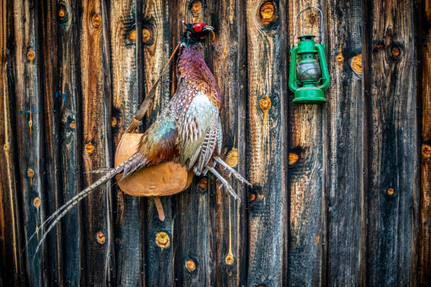 A hunted pheasant hanging from a nail in a wooden shack wall  with a hunter's satchel and a green lantern stock photo