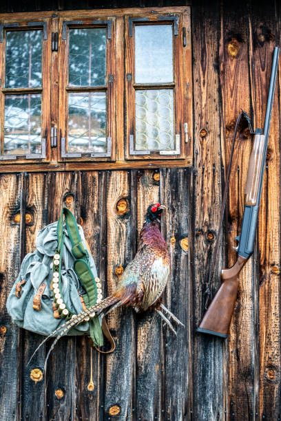 A hunted pheasant hanging from a nail in a wooden wall paneling of a hut with a hunter's satchel and a shotgun ammo belt stock photo