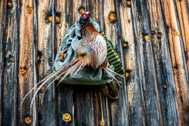 A hunted pheasant hanging from a nail in a wooden wall with a hunter's satchel and a shotgun ammo belt stock photo