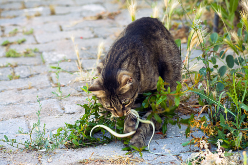 View of a cat playing with a small snake