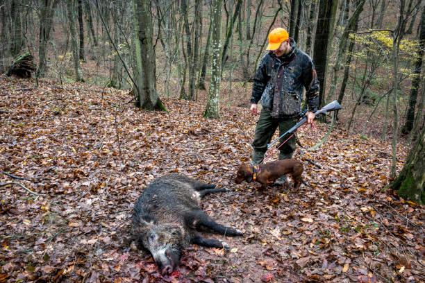 hunter in the woods - cinghiale animale foto e immagini stock