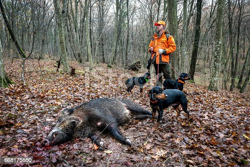 Hunter in the forest holding a rifle and his dogs as they stand next to dead wild boar.