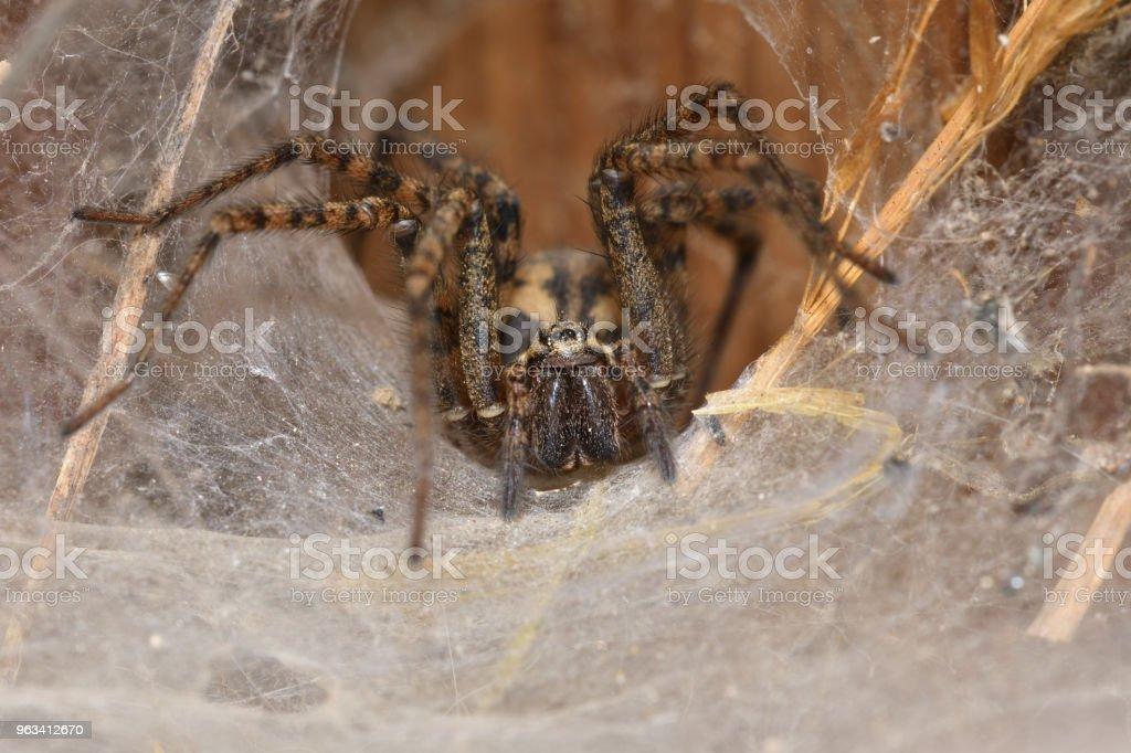 myśliwy pająk czai się i ogląda z gniazda sieci - Zbiór zdjęć royalty-free (Arachnofobia)