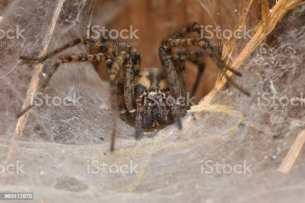 Myśliwy Pająk Czai Się I Ogląda Z Gniazda Sieci - zdjęcia stockowe i więcej obrazów Arachnofobia