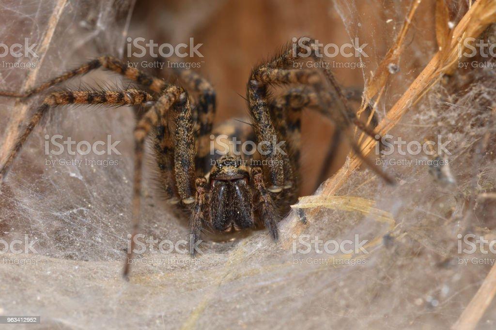 Hunter araignée TAPI et regarder le nid de web - Photo de Arachnide libre de droits