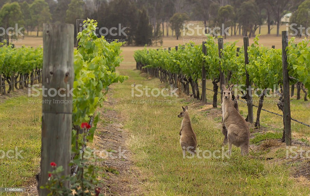 Hunter valley kangaroos in the vineyard stock photo