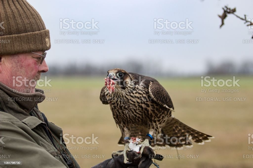 Hunter with falcon stock photo