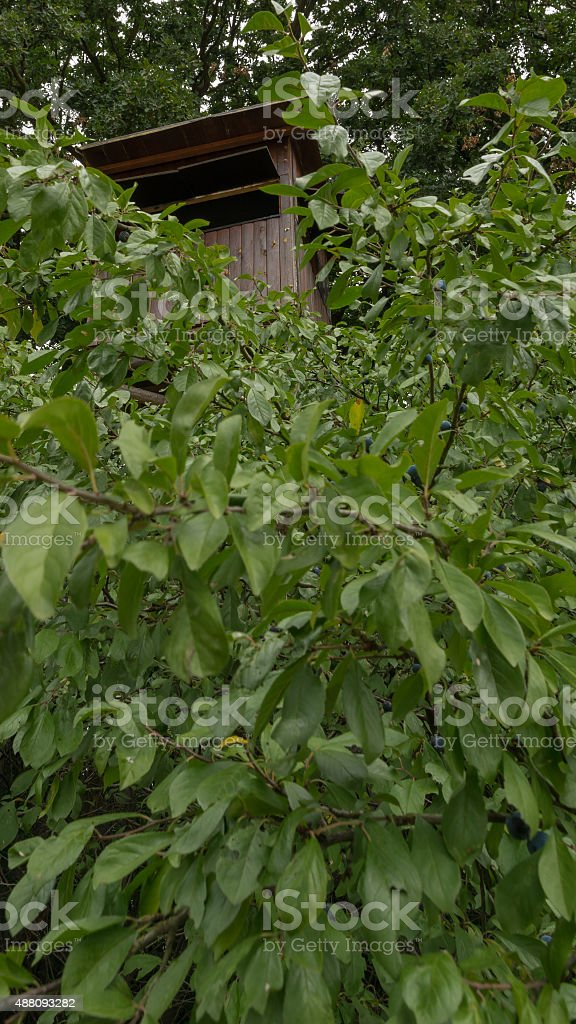 Hunter's bryony hidden in the bushes stock photo