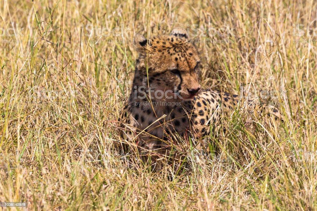 Hunters from Masai Mara. Cheetah after a meal. Kenya, Africa stock photo