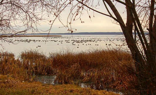 Waterfowl congregate in the fall near the shoreline of Lac Ste. Anne in Alberta, Canada. Mallard ducks and Canada geese are framed by a shoreline tree at Alberta Beach. Both game birds are in season in the fall for hunters.