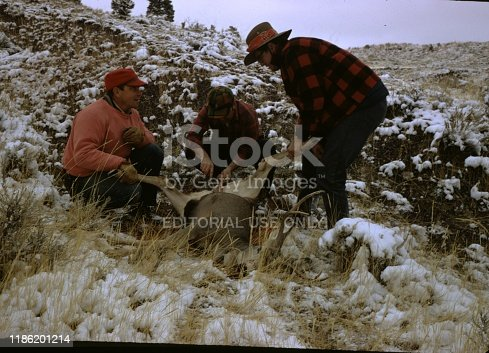 United States - January 01, 1970:  Hunters gathered by a butchered deer carcass, two holding its legs, third cutting it with a knife on a snowy hillside, Wyoming, 1970