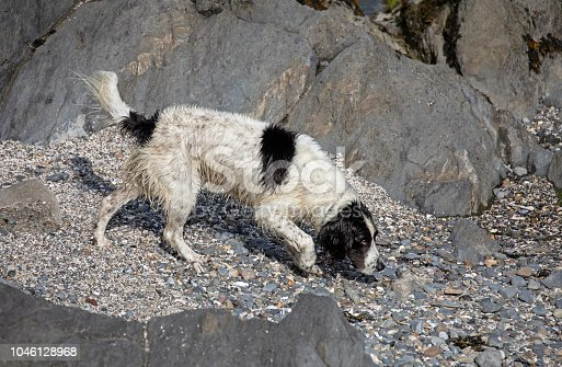 Spaniel after a swim on Portmarnock Beach Ireland September 2018