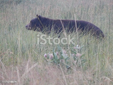 A juvenile black bear stares intently at something moving in the tall grass.