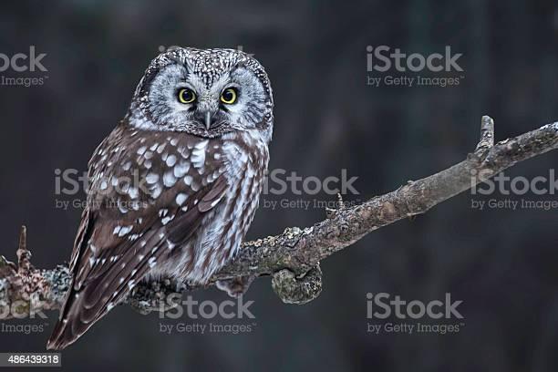 Hunting boreal owl aegolius funereus picture id486439318?b=1&k=6&m=486439318&s=612x612&h=lfy8cqrnjin 3qk0yk8q5n639tpqnlxajb18q raega=
