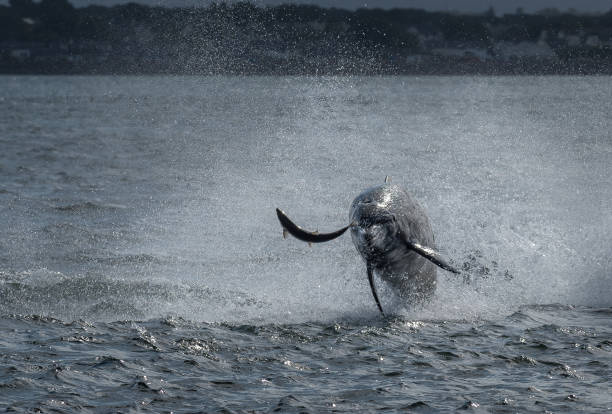 Hunting Bottlenose Dolphin Spectacularly Catches Salmon In The Moray Firth Near Inverness In Scotland Hunting Bottlenose Dolphin Spectacularly Catches Salmon In The Moray Firth Near Inverness In Scotland inverness scotland stock pictures, royalty-free photos & images