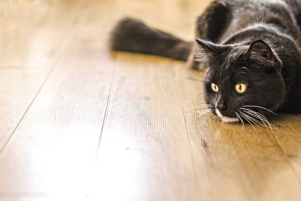 Hunting cat picture id477847387?b=1&k=6&m=477847387&s=612x612&w=0&h=r87nyn9hy5vaozizdtj7bbhmdnetqsw0j2vnuh619hs=