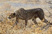 Mother cheeta hunting in the savannah