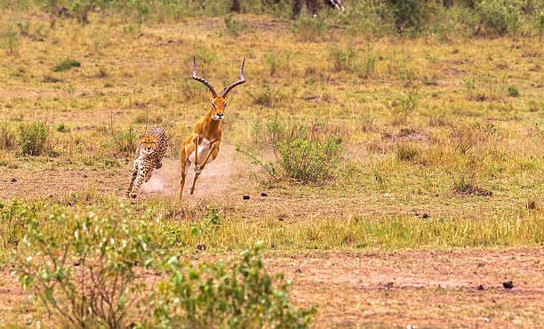 Hunting cheetah in the savannah. Masai Mara, Kenya - foto de stock