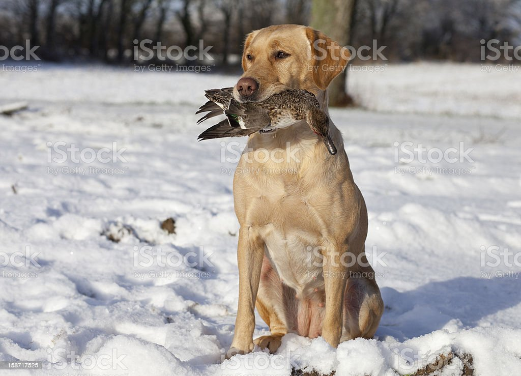 Hunting dog brought a duck stock photo
