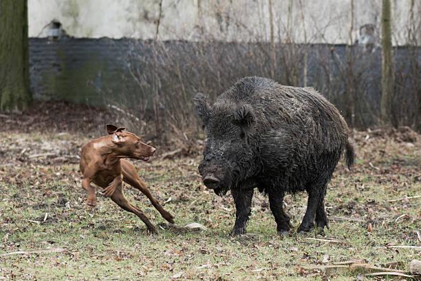 Hunting dog catching wild boar stock photo