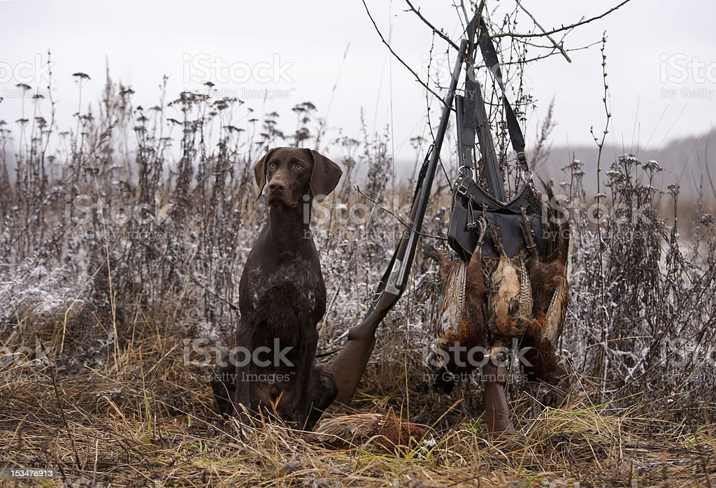 A hunting dog in a field next to a gun and bag royalty-free stock photo