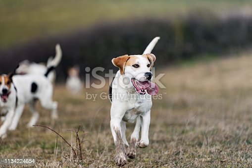 Pack of Foxhounds running at full speed as they chase down a scent that has been laid down for them to  follow. Colour, horizontal with some copy space.