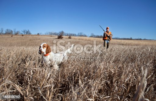 English setter and man upland bird hunting in the midwest.