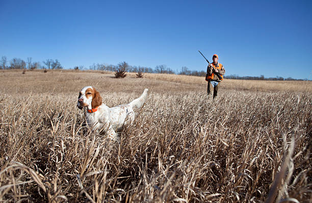 Hunting Dog English setter and man upland bird hunting in the midwest. bird hunting stock pictures, royalty-free photos & images