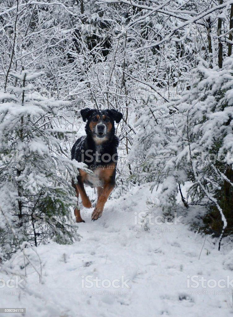 Perro cazador foto de stock libre de derechos