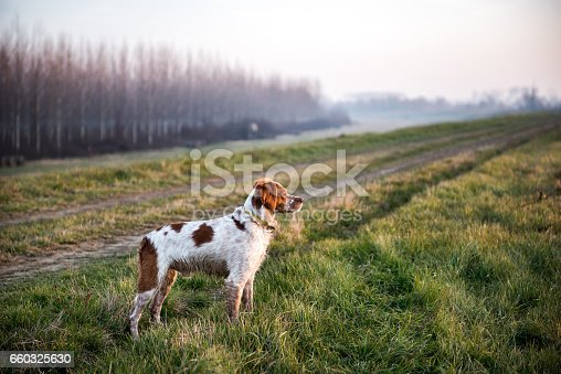 Young hunting dog standing in the field and stalking prey during hunting.
