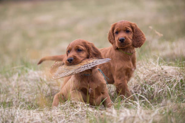 Hunting dog puppies Two Irish setter puppies are sitting on the grass. One puppy is in your mouth a bird on the wing. irish setter stock pictures, royalty-free photos & images