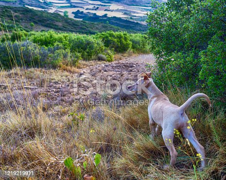 hunting dog puppy in the bush looking for rabbits