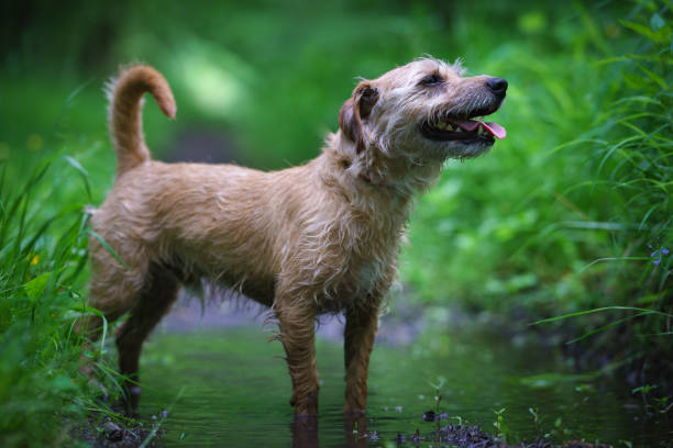 Hunting dog standing in a puddle among trees on a forest path, catching a trail.