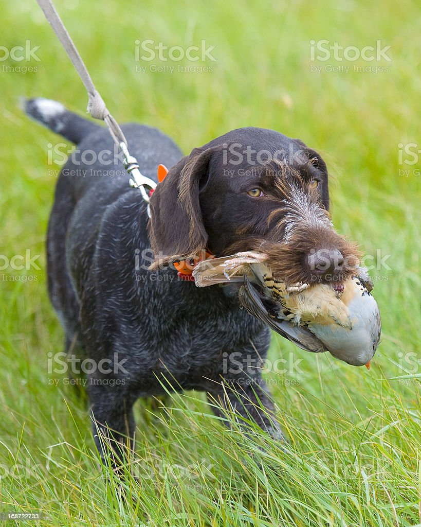 Hunting Dog with a Chukar royalty-free stock photo