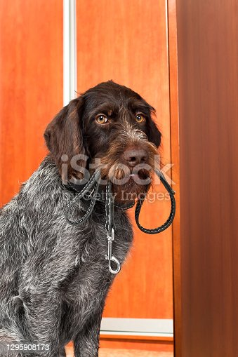 hunting dog asks for a walk, with a leash in his teeth, near the door