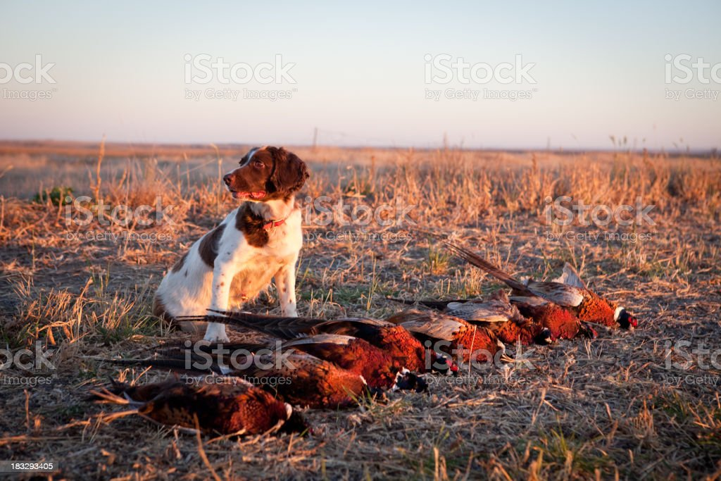 Hunting Dog with Pheasants stock photo