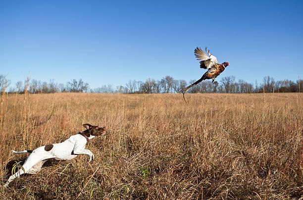 chien de chasse avec coq faisan flushing de grass field. - chasser photos et images de collection