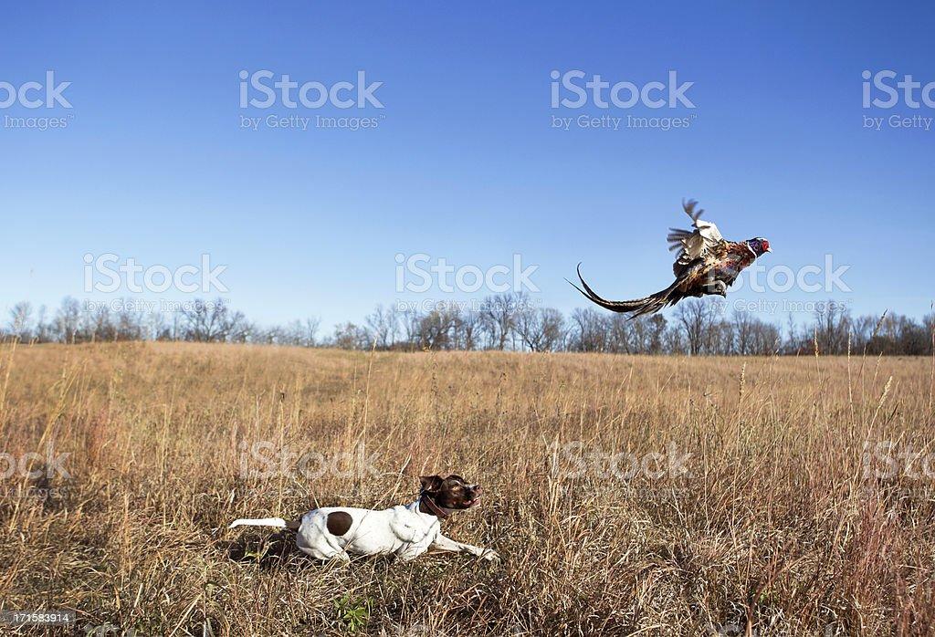 Perro cazador con Rooster faisán limpiando de Grass Field. - foto de stock