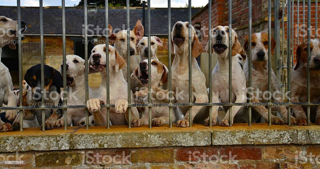 Hunting dogs in a kennel stock photo