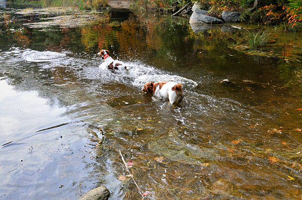 hunting dogs in action - mike cherim stock pictures, royalty-free photos & images