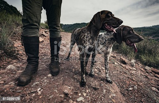 Two German shorthaired pointers