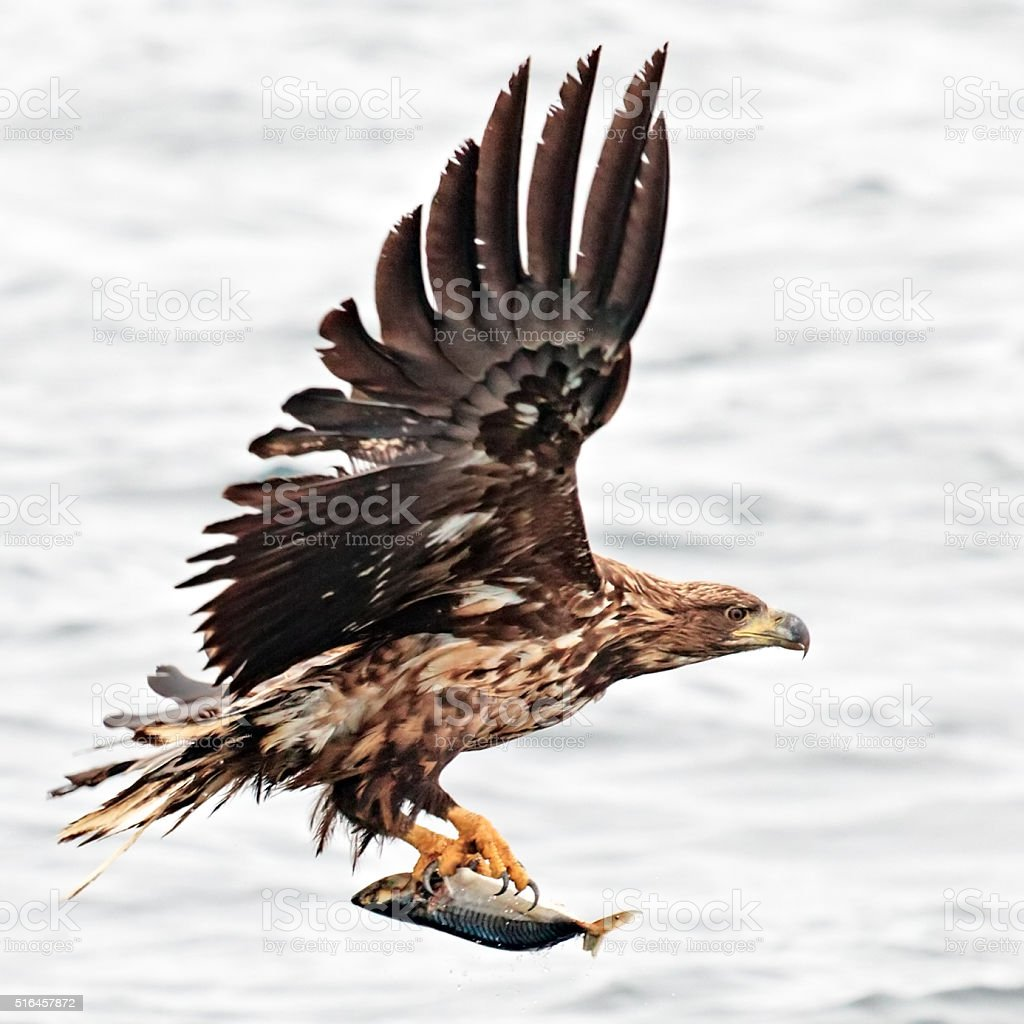 Hunting eagle with fish over the sea. Andoya, Norway. stock photo