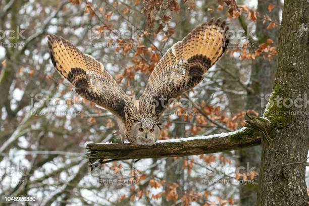 Hunting eagleowl in winter picture id1048926330?b=1&k=6&m=1048926330&s=612x612&h=5bn tzl8jxxnlmbt4jan4kuvm s5hpbxnwlgwm3baxq=