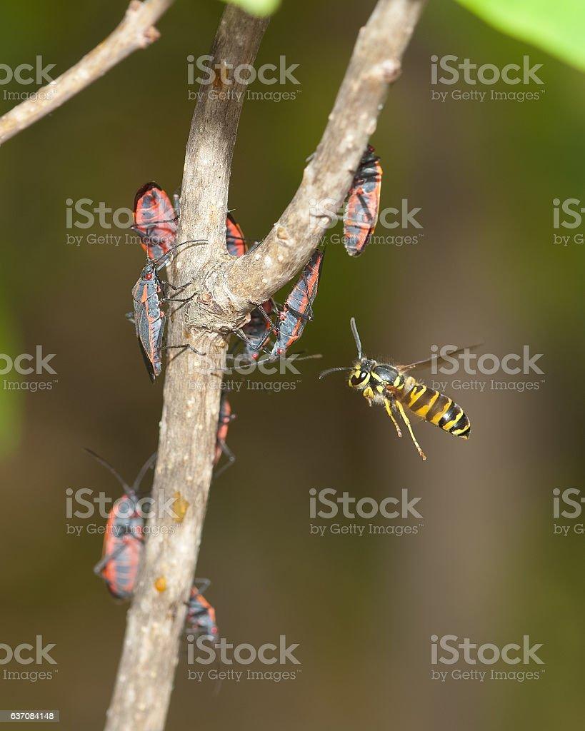 Hunting Eastern Yellowjacket stock photo